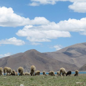 Foto Friday: Sheep Exploring the Tibetan Plains