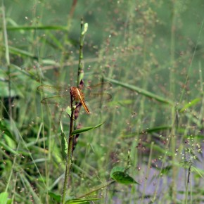 Foto Friday: Dragonflies